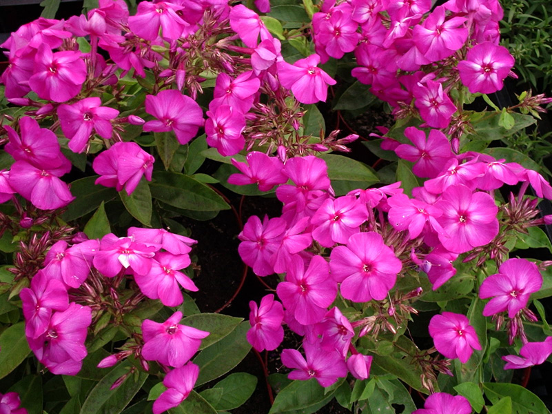 phlox junior dream perennial