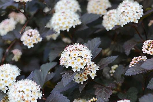 Physocarpus monlo ninebark shrub