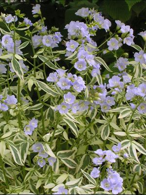 polemonium stairway to heaven perennial jacob's ladder