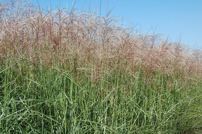 red maiden grass perennial ornamental miscanthus