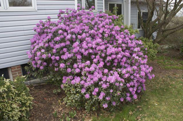 rhododendron pjm shrub