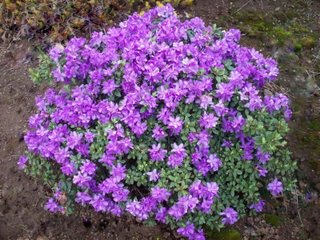 rhododendron purple gem shrub