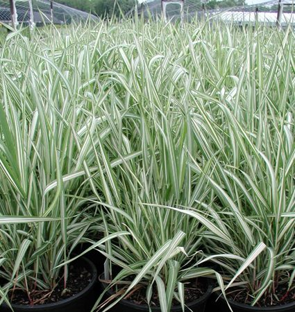 ribbon grass perennial ornamental