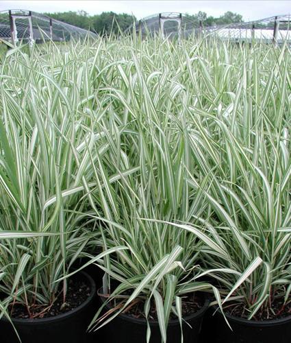 ribbon grass perennial ornamental