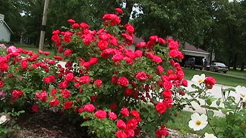 rose george vancouver rosa shrub