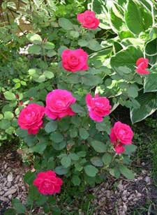 rosa rose winnipeg parks shrub
