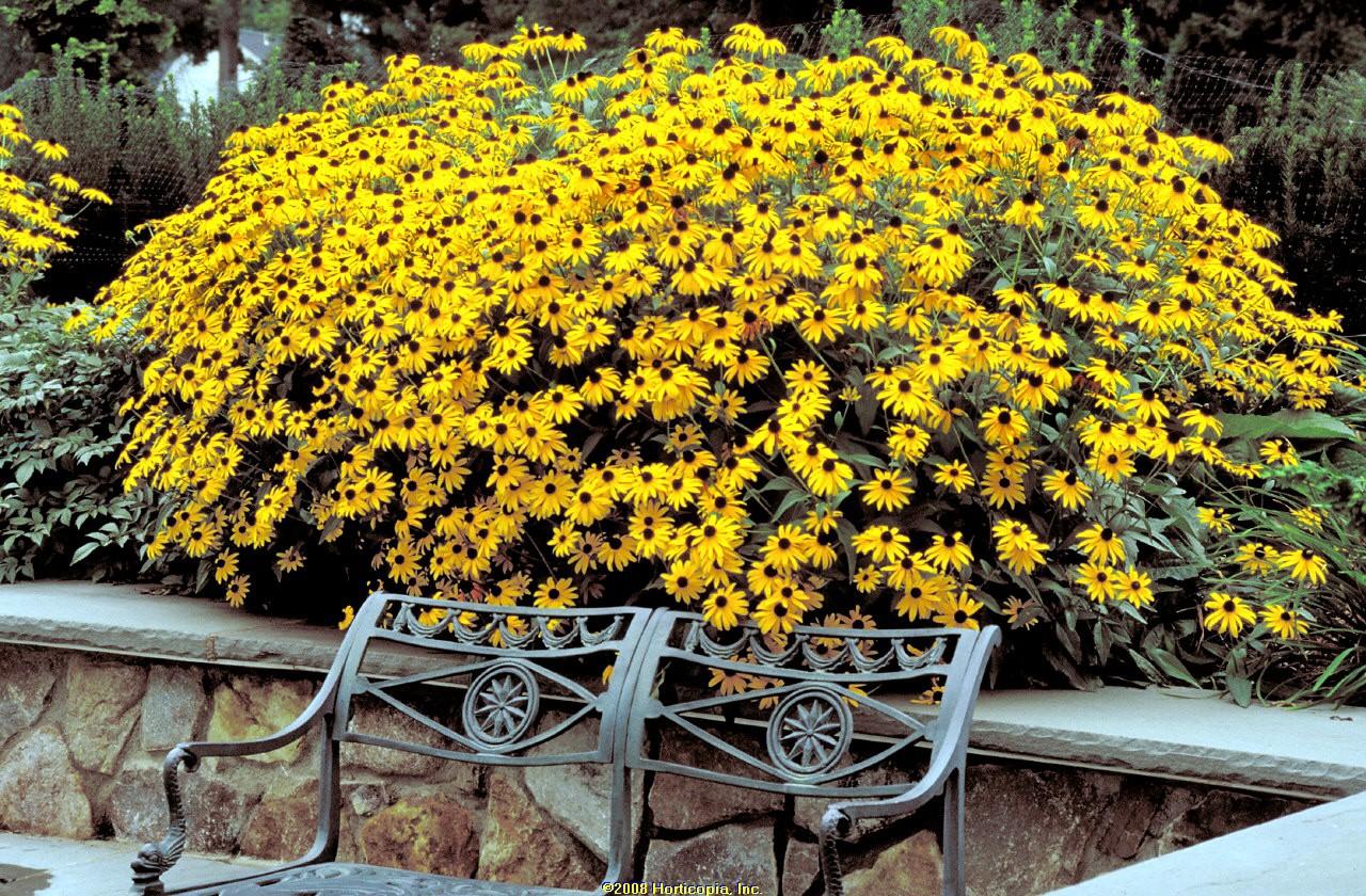 rudbeckia goldsturm black eyed susan perennial