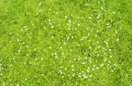 sagina subulata aurea scotch moss groundcover