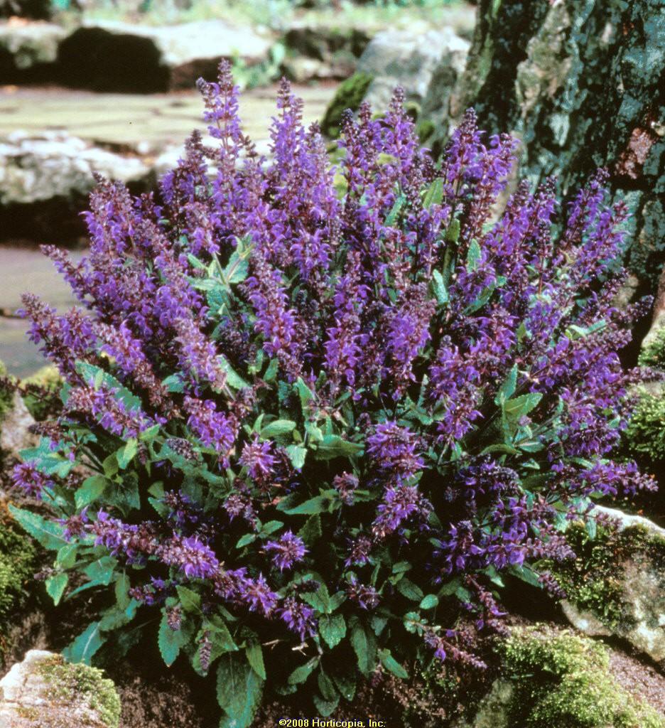 salvia viola klose perennial