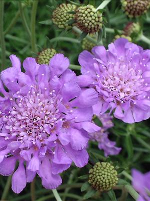 scabiosa butterfly blue pincushion flower perennial