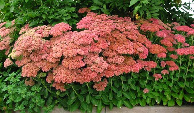sedum autumn joy stonecrop perennial