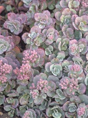 sedum cauticola stonecrop perennial