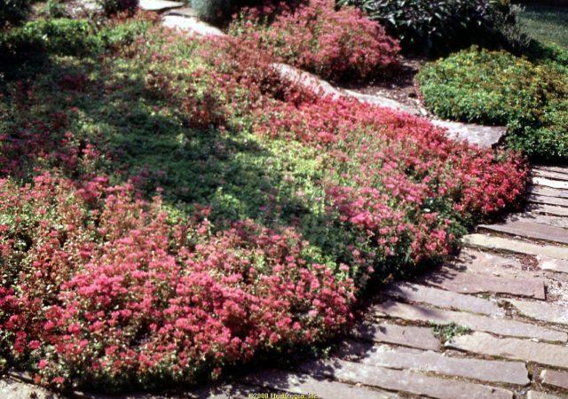 sedum dragon's blood stonecrop perennial