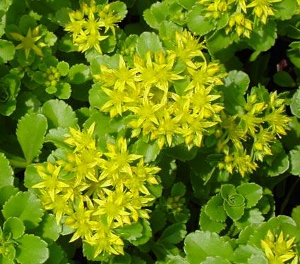 Sedum Kamtschaticum stonecrop perennial