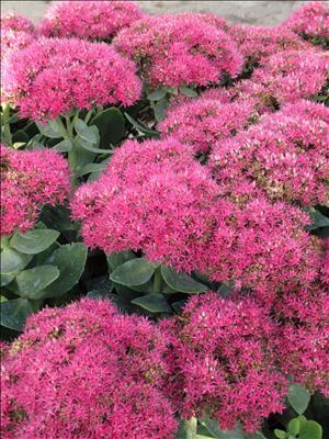 sedum neon stonecrop perennial