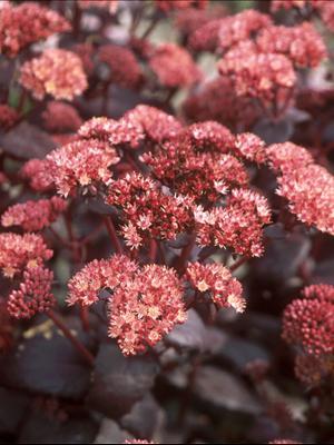 sedum purple emperor stonecrop perennial