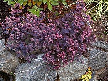 sedum vera jameson stonecrop perennial