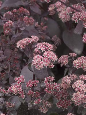 sedum xenox stonecrop perennial
