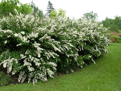 spiraea spirea snowmound shrub