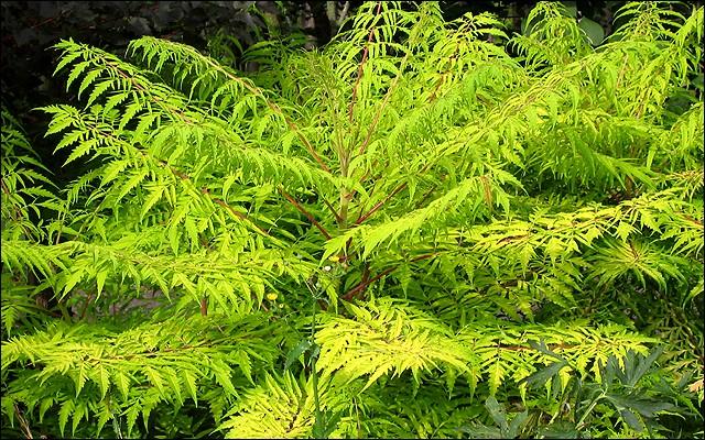 rhus tiger eyes sumac shrub