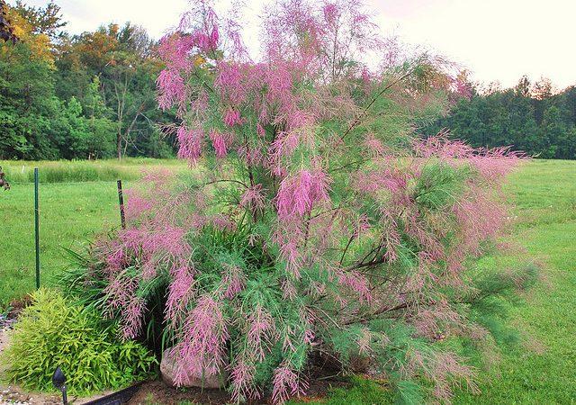 tamarisk tamarix summer glow shrub