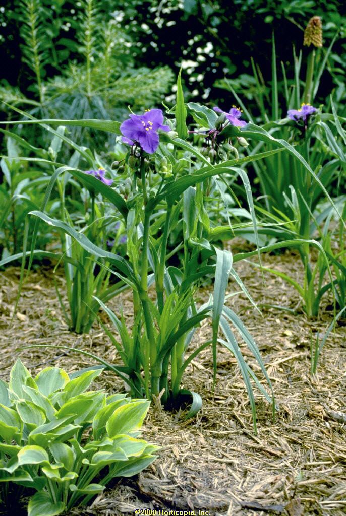 tradescantia zwanenburg blue perennial