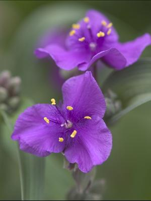 tradescantia concord grape perennial