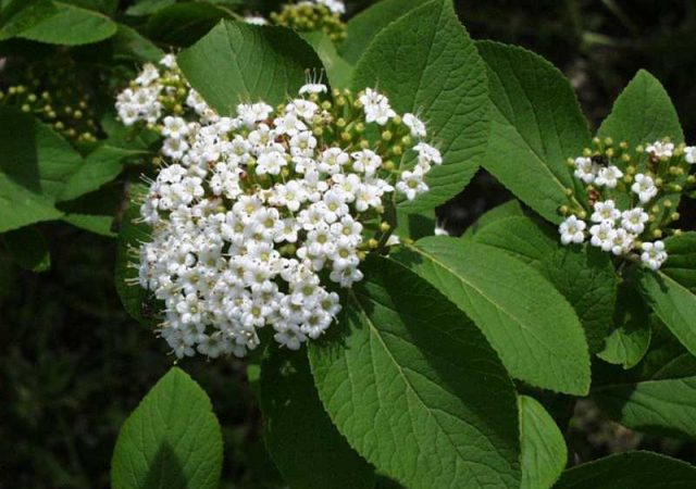 Viburnum Emerald Triumph shrub