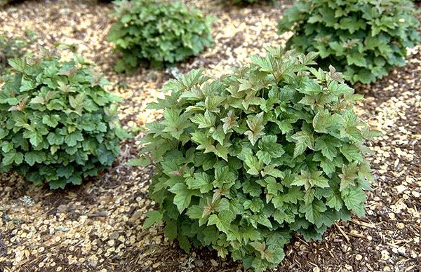 viburnum nanum shrub