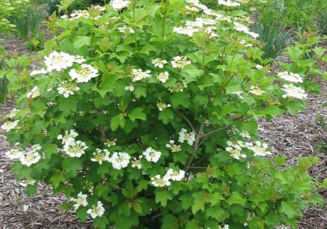 viburnum wentworth shrub