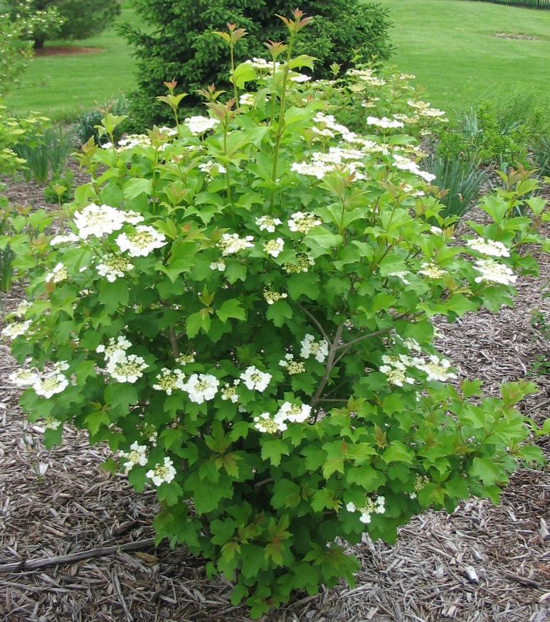 viburnum wentworth shrub