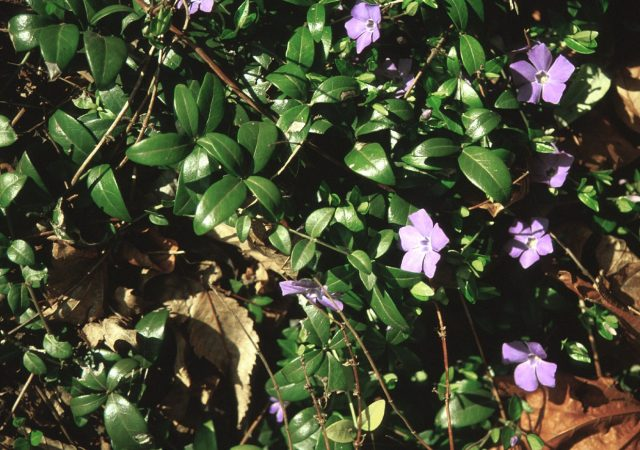 vinca minor bowles groundcover perennial