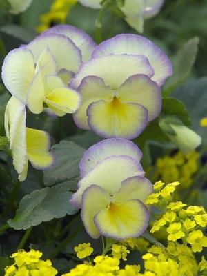 viola etain perennial