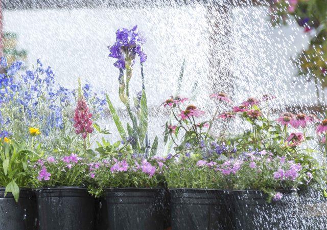 Watering spring flowers