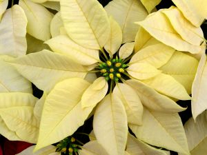 white poinsettia flower