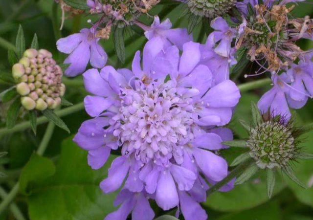 scabiosa butterfly blue flower