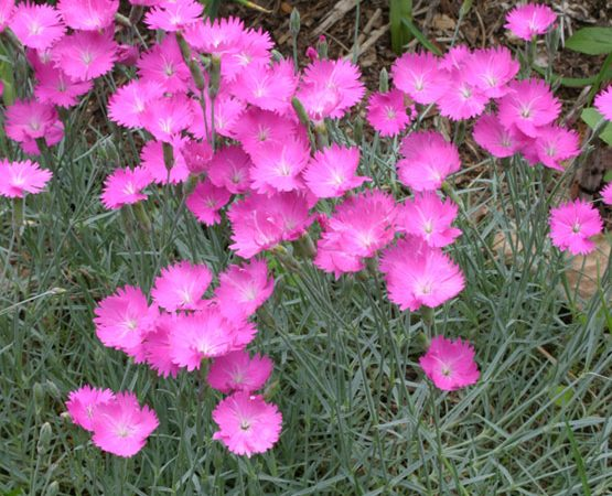 dianthus firewitch pinks