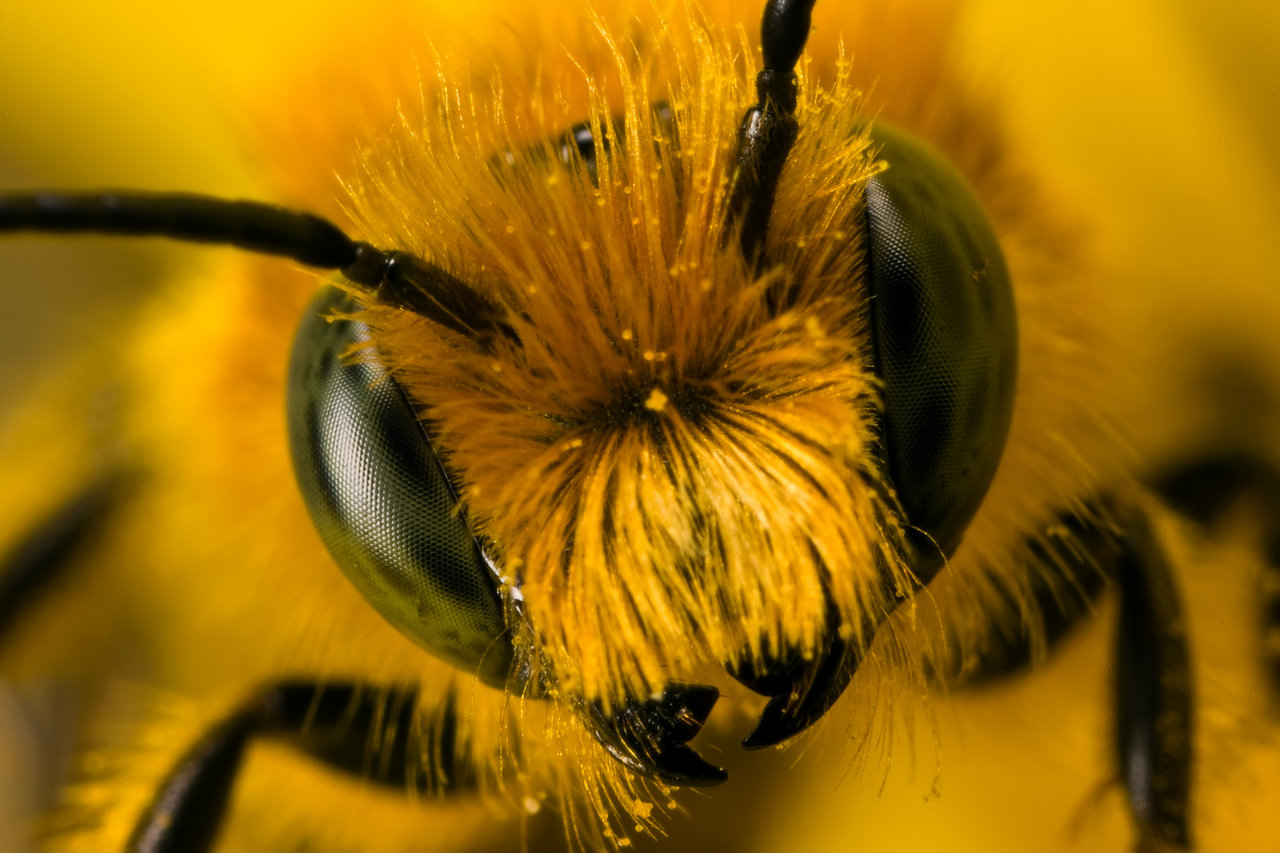 Miner bee close-up