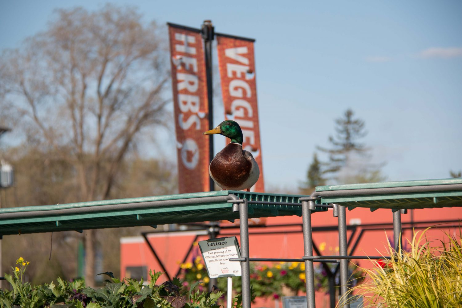 Mallard at the Garden Center