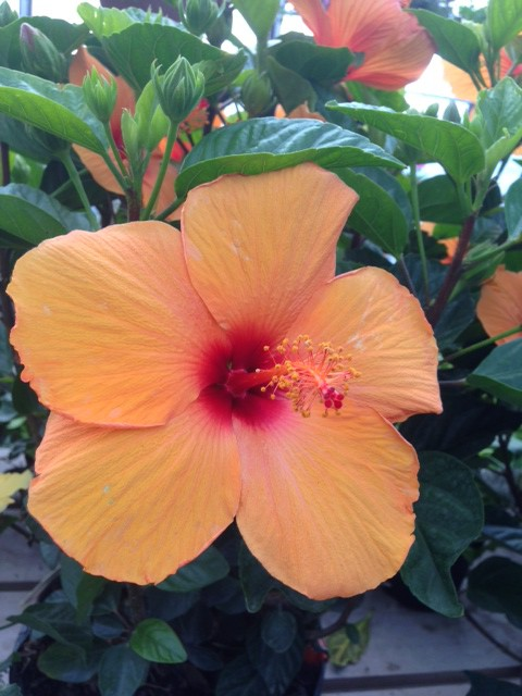 Orange hibiscus flower