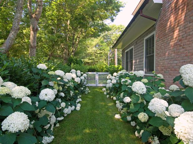 Path lined with Hydrangeas Annabelle