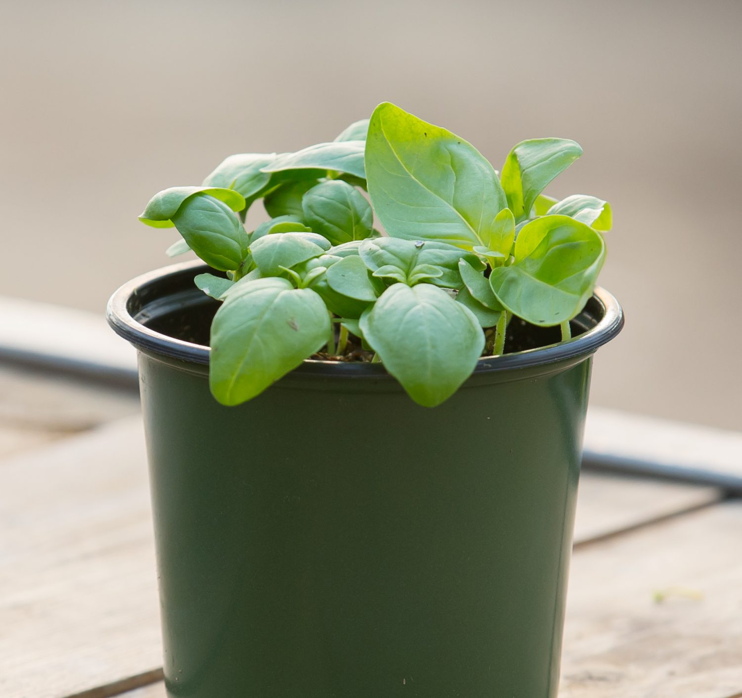 Potted Basil Seedlings