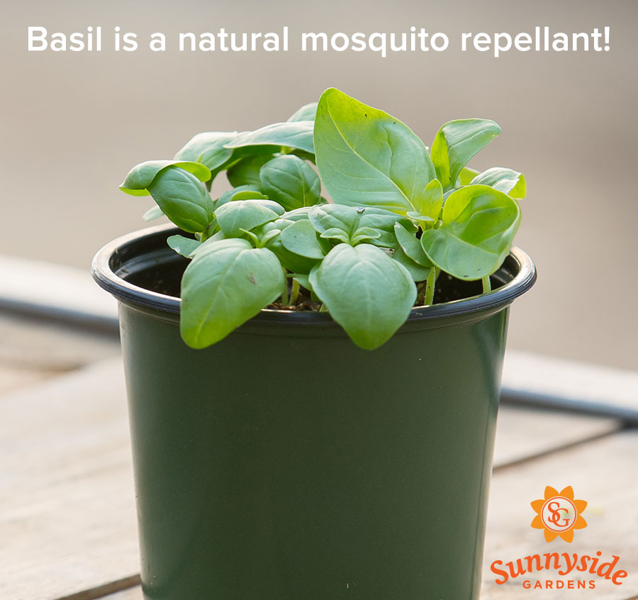 "Potted Basil Seedlings, text ""Basil is a natural mosquito repellant!"""