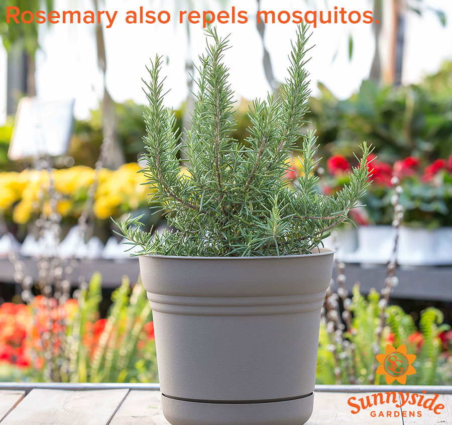 "Potted Rosemary, text ""Rosemary also repels mosquitos."""
