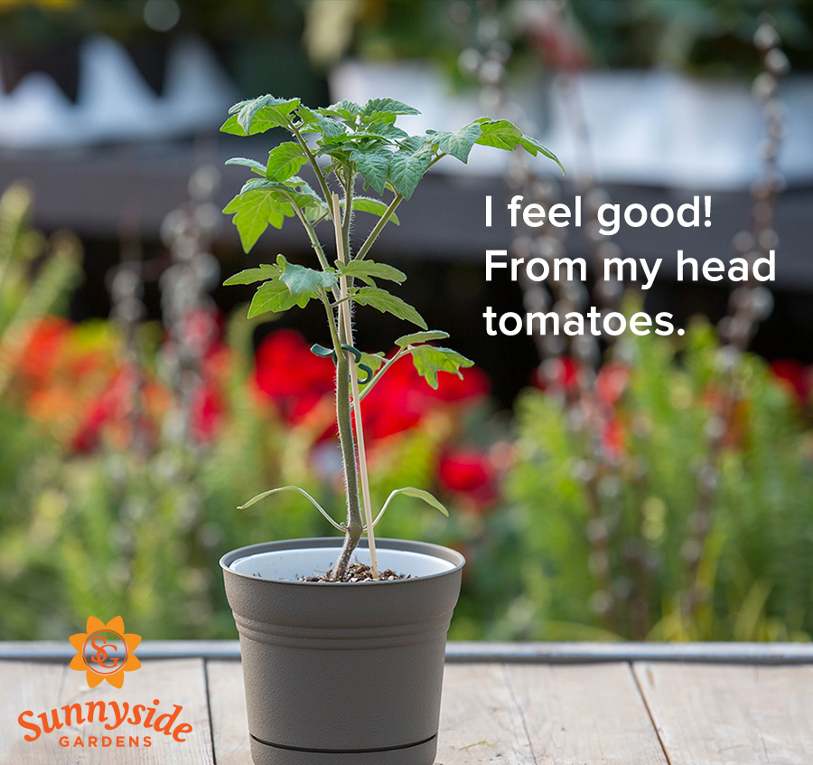"Tomato plant, text ""I feel good! From my head tomatoes."""