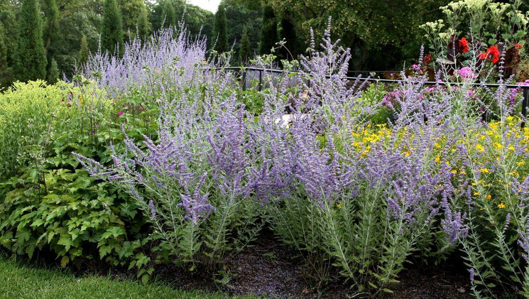 Etonnant News August In The Garden Russian Sage
