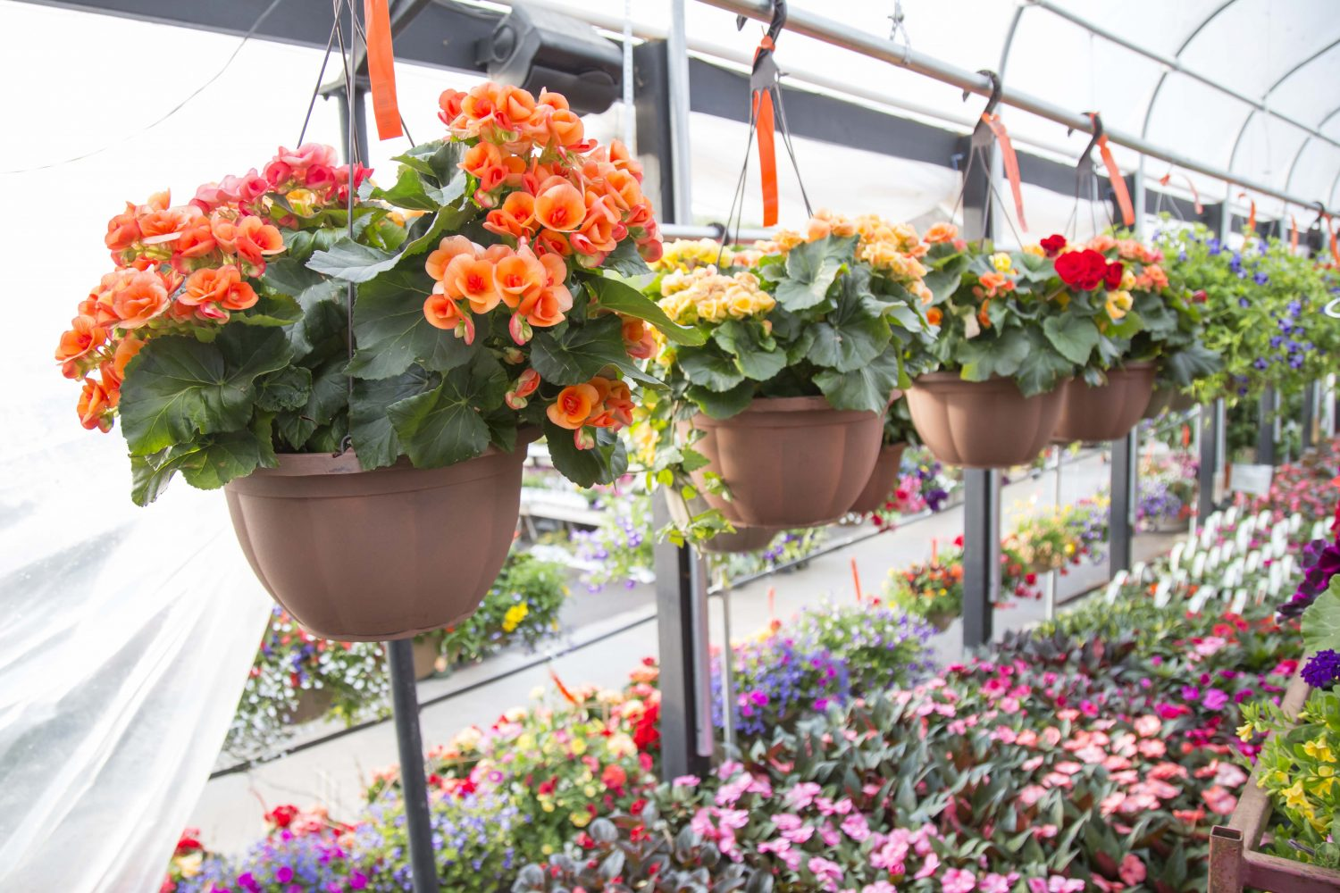 Begonia Hanging Baskets in the greenhouse