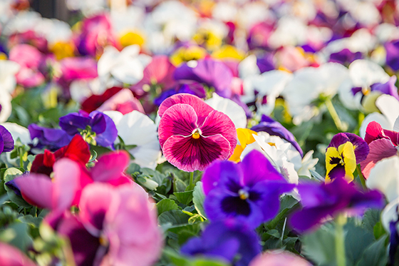 multi-colored pansies