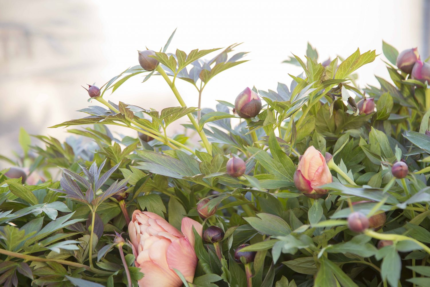 Peonies with flower buds
