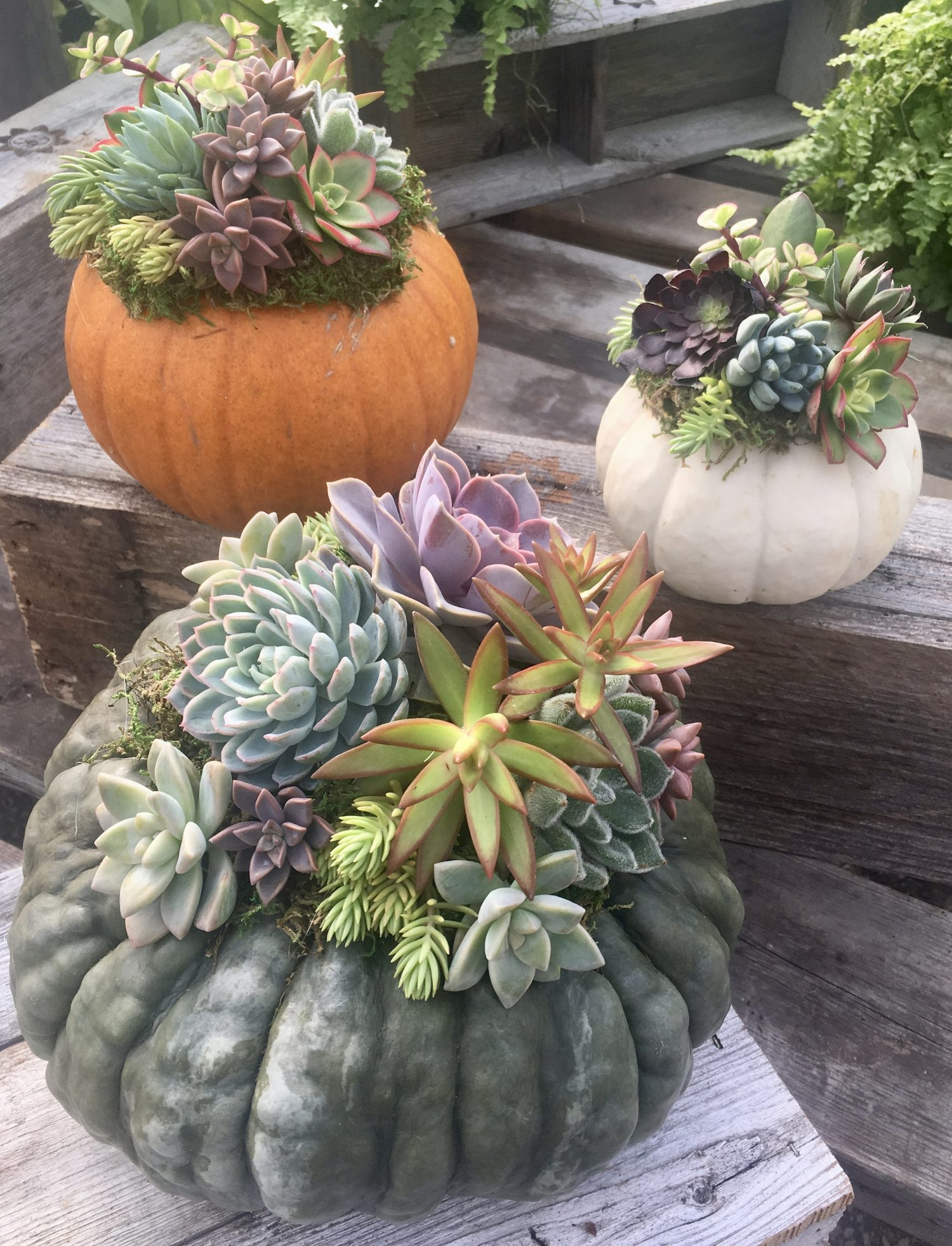 Pumpkin Succulents